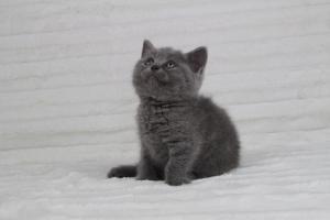 koty brytyjskie niebeiskie krótkowłose-Rita (7)