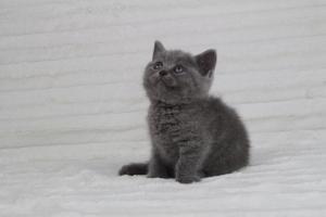 koty brytyjskie niebeiskie krótkowłose-Rita (8)