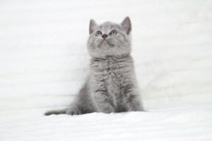 koty brytyjskie niebeiskie krótkowłose-Robbie (15)