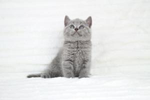 koty brytyjskie niebeiskie krótkowłose-Robbie (17)