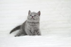 koty brytyjskie niebeiskie krótkowłose-Robbie (2)