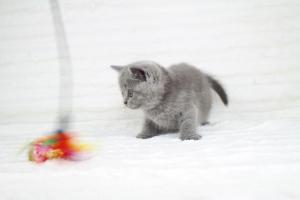 koty brytyjskie niebeiskie krótkowłose-Robbie (21)