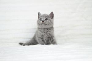 koty brytyjskie niebeiskie krótkowłose-Robbie (3)