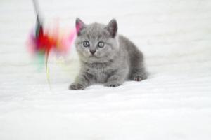 koty brytyjskie niebeiskie krótkowłose-Robbie (30)