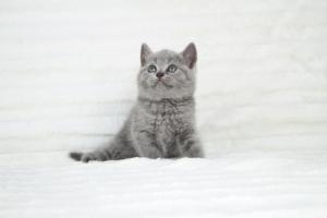 koty brytyjskie niebeiskie krótkowłose-Robbie (4)