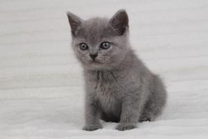 koty brytyjskie niebeiskie krótkowłose-Romek (1)