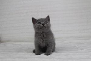 koty brytyjskie niebeiskie krótkowłose-Romek (10)