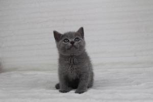 koty brytyjskie niebeiskie krótkowłose-Romek (11)