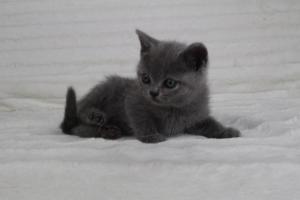 koty brytyjskie niebeiskie krótkowłose-Romek (12)