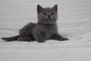 koty brytyjskie niebeiskie krótkowłose-Romek (13)