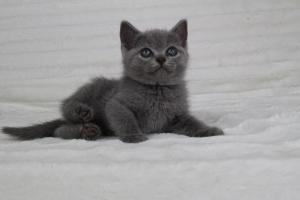 koty brytyjskie niebeiskie krótkowłose-Romek (14)