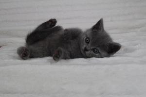 koty brytyjskie niebeiskie krótkowłose-Romek (16)