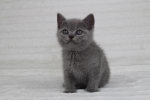 koty brytyjskie niebeiskie krótkowłose-Romek (2)