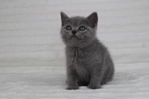 koty brytyjskie niebeiskie krótkowłose-Romek (3)