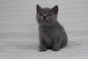 koty brytyjskie niebeiskie krótkowłose-Romek (4)