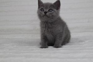 koty brytyjskie niebeiskie krótkowłose-Romek (5)