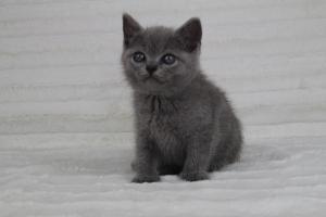 koty brytyjskie niebeiskie krótkowłose-Romek (6)