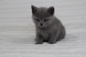 koty brytyjskie niebeiskie krótkowłose-Romek (7)
