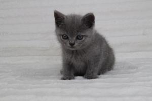 koty brytyjskie niebeiskie krótkowłose-Romek (8)