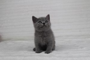 koty brytyjskie niebeiskie krótkowłose-Romek (9)