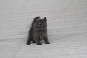 koty brytyjskie niebeiskie krótkowłose-Royber (1)