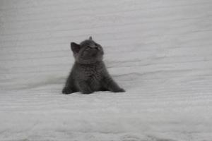 koty brytyjskie niebeiskie krótkowłose-Royber (11)