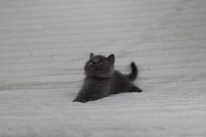 koty brytyjskie niebeiskie krótkowłose-Royber (12)