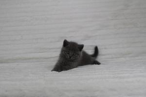 koty brytyjskie niebeiskie krótkowłose-Royber (13)
