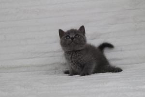 koty brytyjskie niebeiskie krótkowłose-Royber (16)
