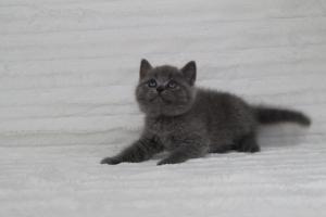 koty brytyjskie niebeiskie krótkowłose-Royber (17)