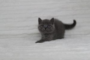 koty brytyjskie niebeiskie krótkowłose-Royber (18)