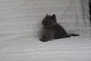 koty brytyjskie niebeiskie krótkowłose-Royber (19)