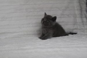 koty brytyjskie niebeiskie krótkowłose-Royber (20)