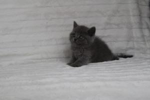 koty brytyjskie niebeiskie krótkowłose-Royber (21)
