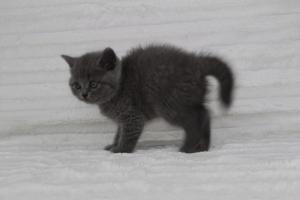 koty brytyjskie niebeiskie krótkowłose-Royber (22)