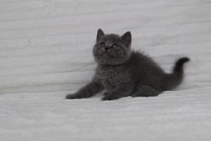 koty brytyjskie niebeiskie krótkowłose-Royber (23)