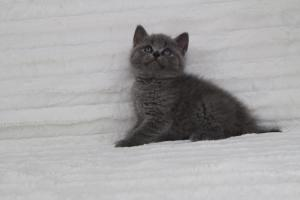 koty brytyjskie niebeiskie krótkowłose-Royber (27)
