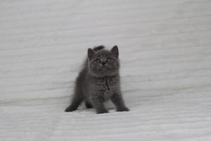 koty brytyjskie niebeiskie krótkowłose-Royber (3)