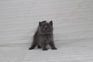 koty brytyjskie niebeiskie krótkowłose-Royber (4)