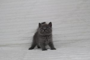 koty brytyjskie niebeiskie krótkowłose-Royber (5)