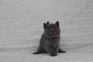 koty brytyjskie niebeiskie krótkowłose-Royber (6)