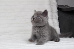 koty brytyjskie niebeiskie krótkowłose-Royber (7)