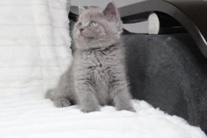 koty brytyjskie niebeiskie krótkowłose-Royber (9)