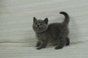 koty brytyjskie niebeiskie krótkowłose-Roma (10)