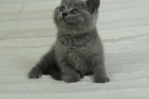 koty brytyjskie niebeiskie krótkowłose-Roma (19)