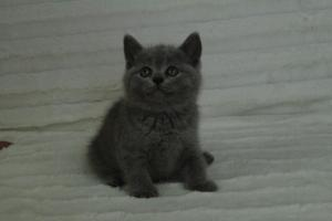 koty brytyjskie niebeiskie krótkowłose-Roma (26)