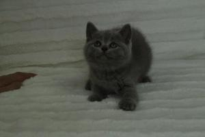 koty brytyjskie niebeiskie krótkowłose-Roma (27)