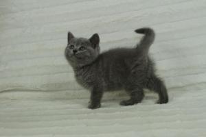 koty brytyjskie niebeiskie krótkowłose-Roma (9)