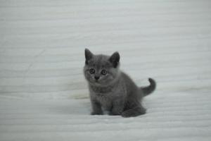 koty brytyjskie niebeiskie krótkowłose-Roma (1)