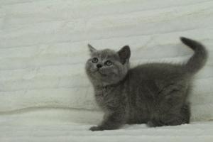 koty brytyjskie niebeiskie krótkowłose-Roma (11)